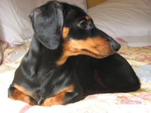 Bio of Crusoe the Dachshund