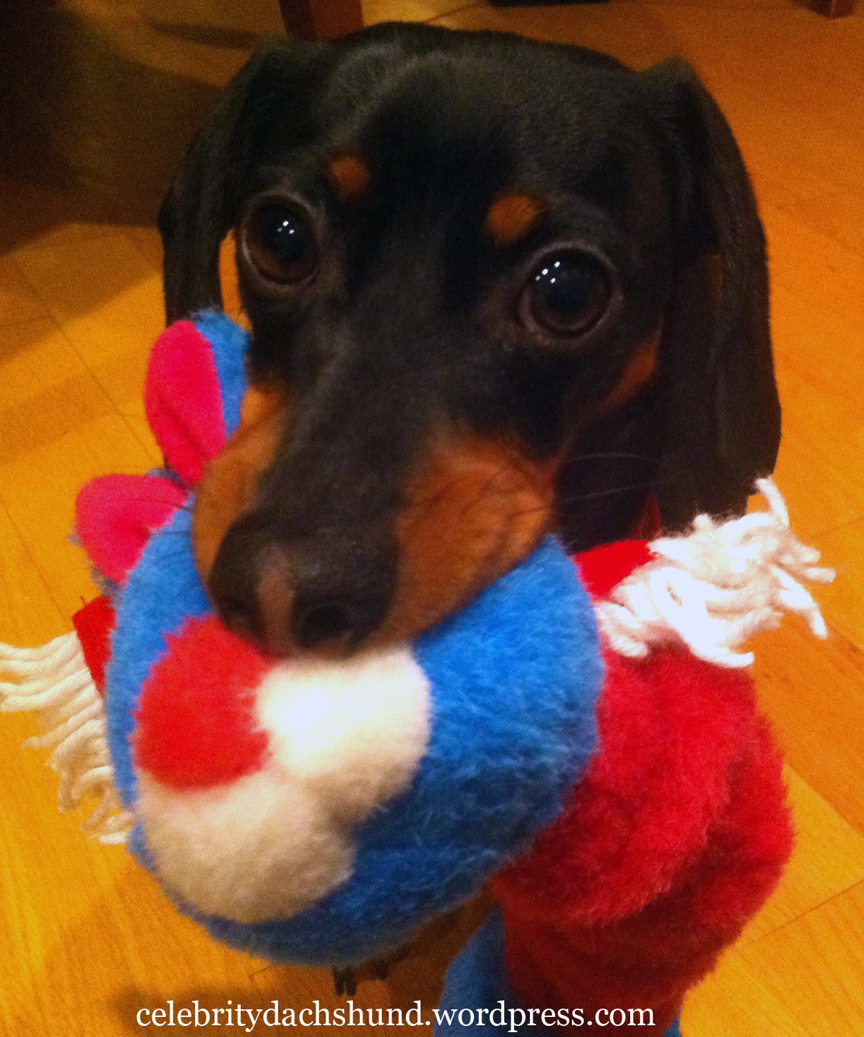 Holiday Gift Giving Crusoe The Celebrity Dachshund
