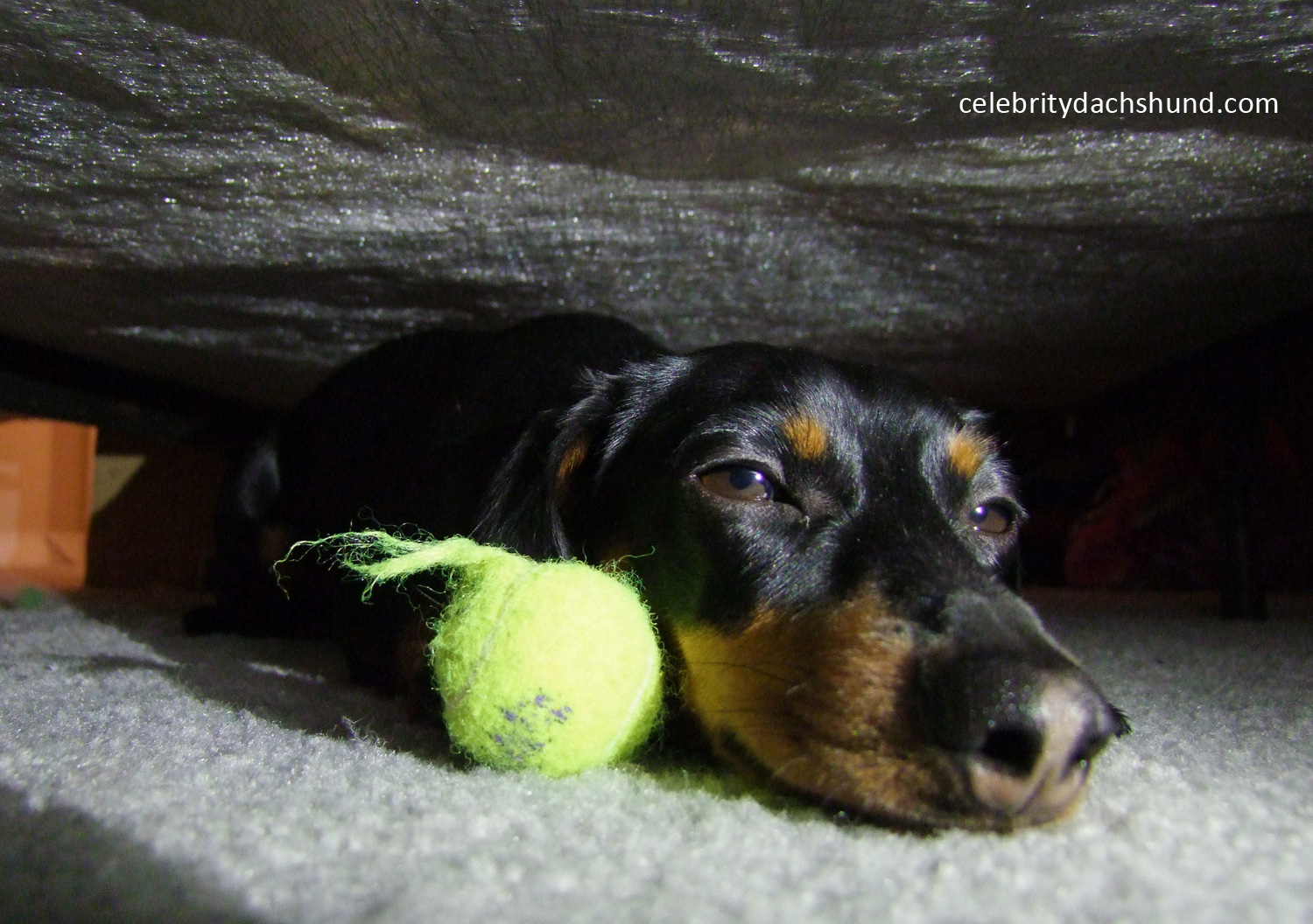Dachshund Hiding Under Bed