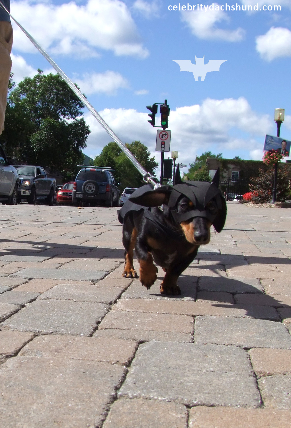 wiener dog bat dachshund walking down street